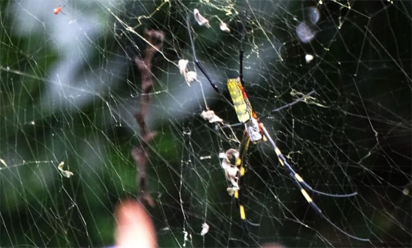 Venusta spider in Kandawgyi garden in Pyin Oo Lwin