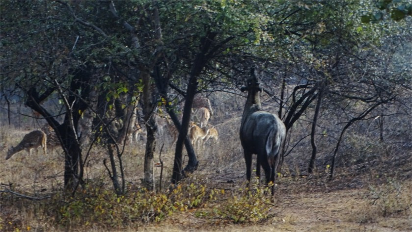 Nilgai browsing in Ranthambore
