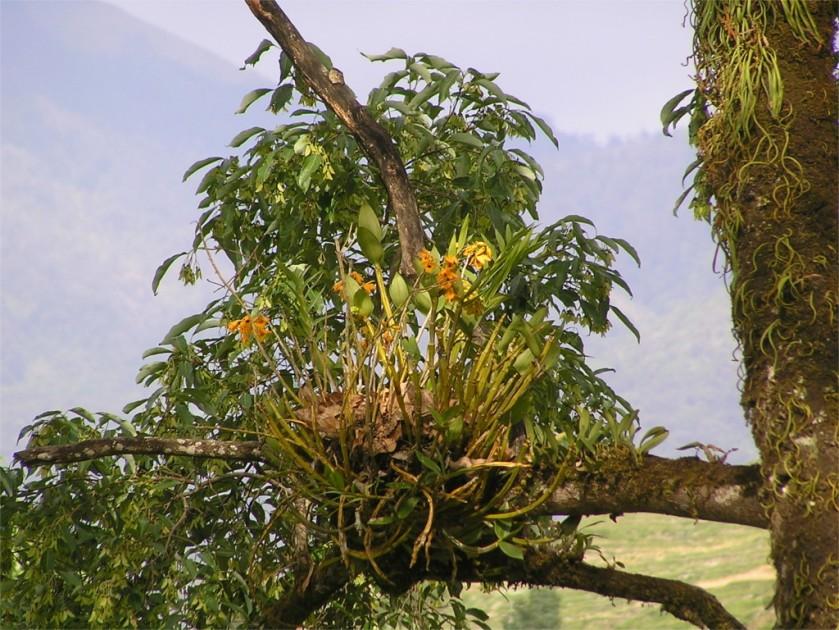 Dendrobium fimbriatum orchid, Bhutan