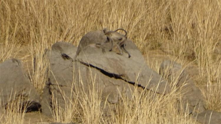 Monkey versus jackal in Pench National Park
