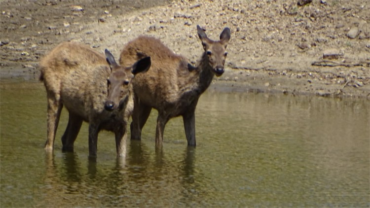 Sambar wade into a waterhole with extreme caution in Pench National Park