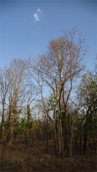 Pench is a mixed forest