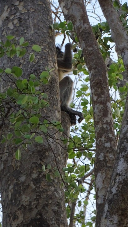 A solitary langur feeds on leaves