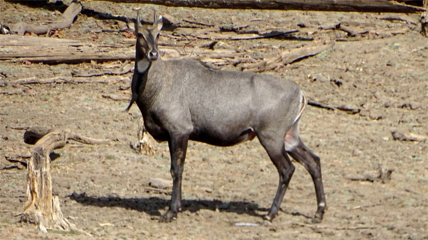Nilgai in Pench National Park