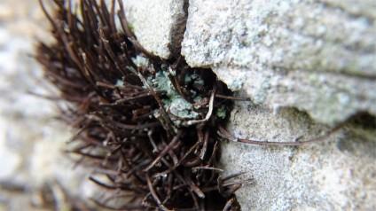 Lichen growing over a miniature thornbush