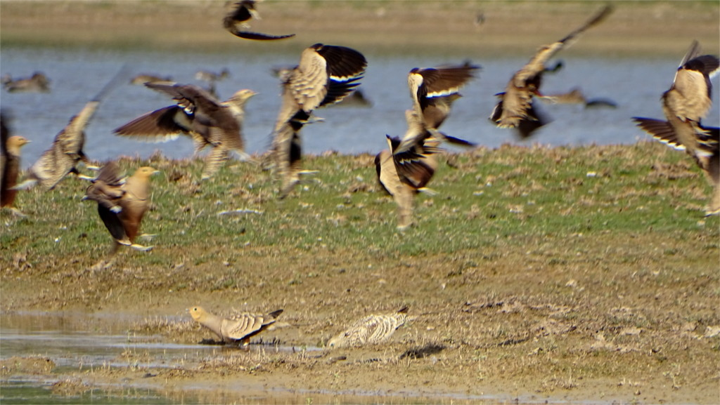 Sandgrouse drinking