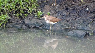 A common sandpiper goes down to the waterline