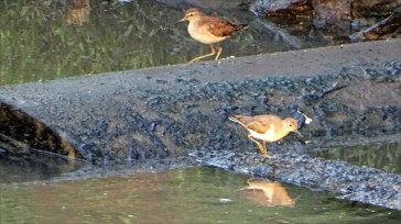 Common sandpipers foraging