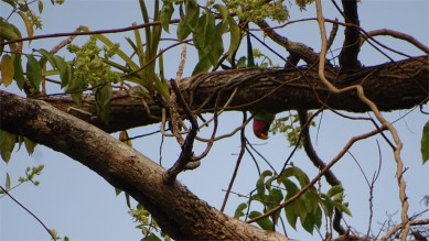A plum headed parakeet feeding upside down